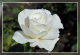 roos  rose:  Margaret Merril Floribundaroos Harkness 1978