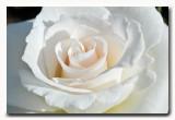 white rose: Margaret Merril Floribundaroos Harkness 1978