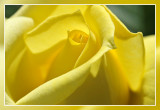 Yellow rose:  Irish Gold Theehybride Dickson 1966