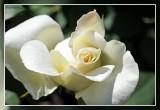 Rose roos: Thérèse de Lisieux Theehybride Orard 1992