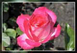 Roos rose: Baronne Edmond de Rotschild Theehybride Meilland 1968