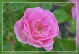 roos rose: Tausendschön Multiflorahybride Schmidt 1906