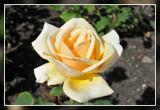 roos rose: Valencia Theehybride Kordes 1989