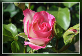 rozen roos rose: Strawberry Ice Floribundaroos Delbard 1986