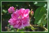 Zoë Mosroos Pradel 1861: rose