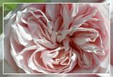 roos: Clb Souvenir de la Malmaison Bennet 1893