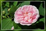 rose: Maidens Blush Albahybride Kew 1797