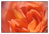 roos: sea pearl floribunda dickson 1964