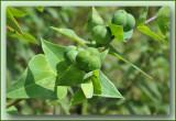 mollenkruid Euphorbia lathyris