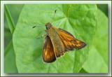 groot dikkopje (Ochlodes sylvanus)