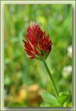Trifolium incarnatum Laekdal