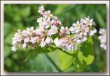 boekweit natuurdomein Laekdal (Fagopyrum esculentum)