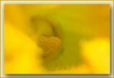 macro bloem courgette - macro flower of a courgette