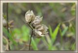 ratelaar (Rhinanthus)