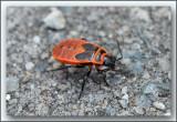 vuurwants (Pyrrhocoris apterus) Laekdal Tremelo