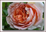 rose Kordes Aloha