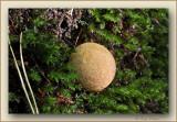 aardappelbovist