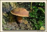 paddestoel - mushroom - champignon