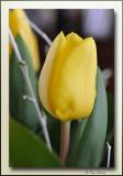 tulp tulipe