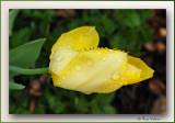 tulip reaching forward