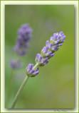 lavender: wonderful soft colours