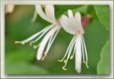kamperfoelie (Lonicera caprifolium)