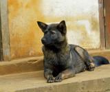 Dog of Sa Pa.