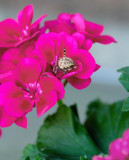 Hiding in a geranium