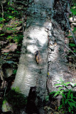 Hollow trunk: Chipmunk refuge.