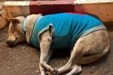 Dog of Mae Hong Son