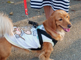 Dog of Chiang Mai