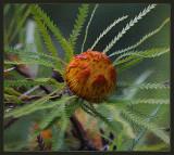 Dryandra