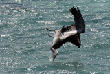 Pelican Diving for fish at Jost Van Dyke