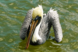 Pelican floating