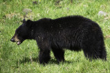 Black Bear in Yellowstone Park
