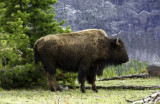 Bison in Profile (Yellowstone Park)