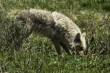 Coyote pounces on prey