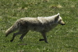 Coyote - off on the hunt