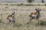 Prong Horn Deer - Grand Teton National Park