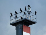Cormorants Resting on the Collingwood Harbour Signal Light