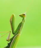 Praying Mantis - Aug 15, 2012