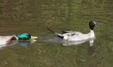 Mallard chasing off a duck.