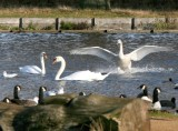 Swans in Bushy Park.