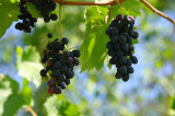 Kakhetian grapes