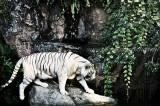 Wildlife:White Tiger