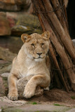 Lioness in Repose (original image)