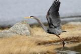 Grand heron-2.jpg