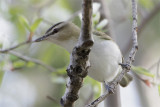 Vireo aux yeux rouges-1.jpg