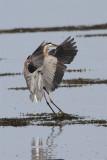 Grand heron-4.jpg