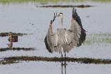 Grand heron-3.jpg